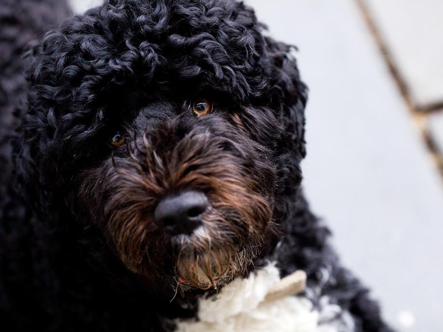 Cão de Água | Saudades de Portugal