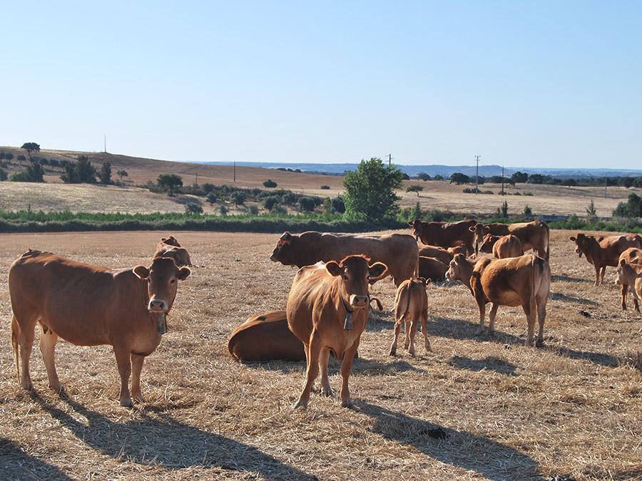 Chocalhos | Saudades de Portugal