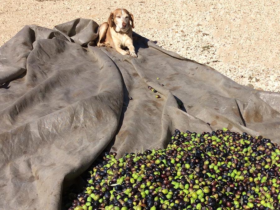 Agro-Toerisme: Olijven